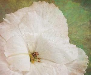 1F-White Begonia-Finished