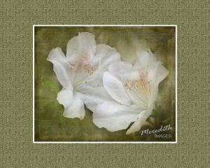 White Azaleas - 4 2LO textures-matted