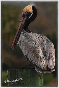 Pelican-Topaz Glow Fur & Feathers
