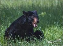 Bear 2 - web