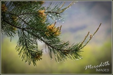 Wet Pine Branch-web