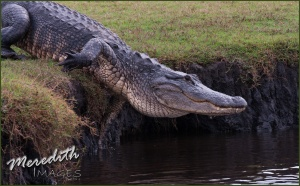 Gator heading for the water-web