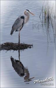 Great Blue Heron-web-vignette
