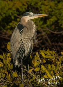 2016-01-24 FL - H-501 great blue heron