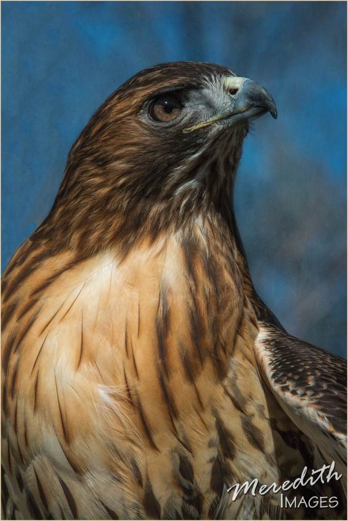 Red Tail Hawk - web