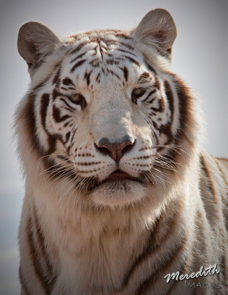 White Tiger - web