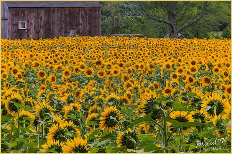 Sunflower Field-Glow II - Fur & Feathers II