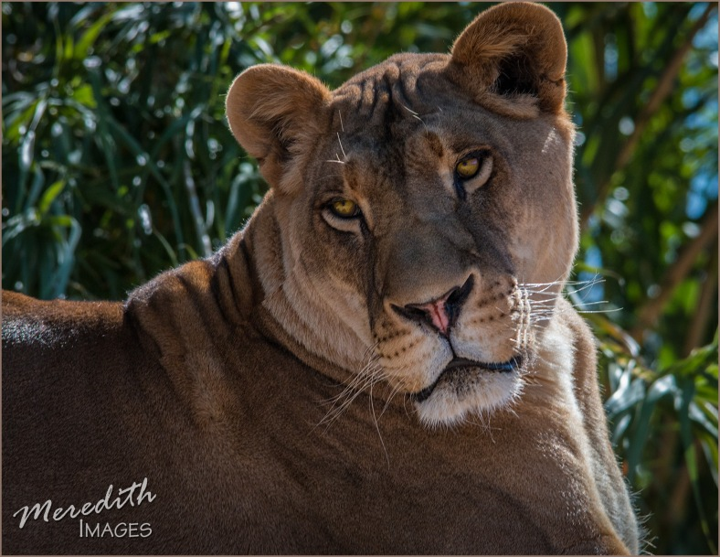 lioness-web