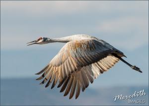 sandhill-crane-web