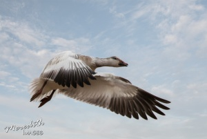 snow-goose-web