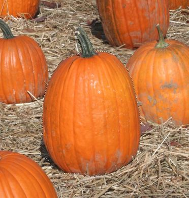 Pumpkin Selection